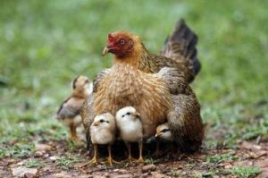 mom and baby chicks