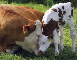 mom and baby cow