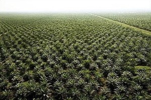 Palm Fruit Plantation
