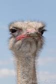 Suspicious Ostrich