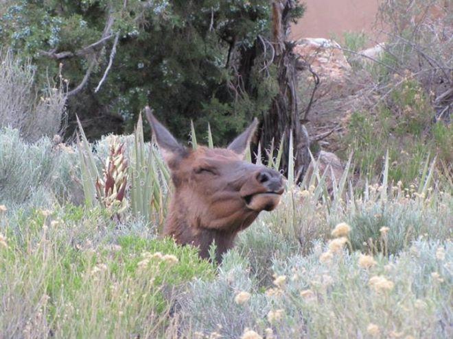 lady elk