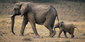Baby elephant & mom